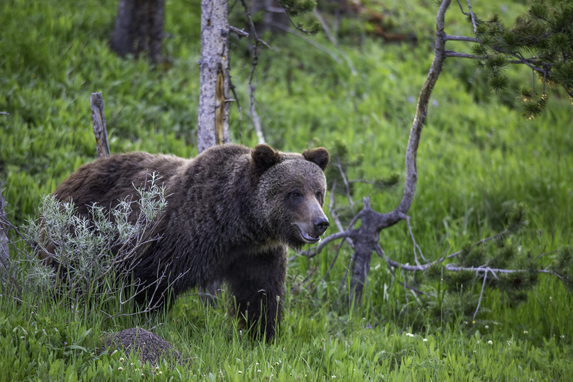 A bear in Yellowstone National Park