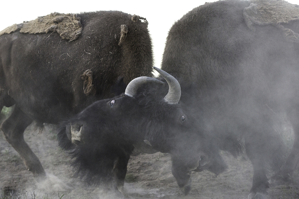 Bison butting heads